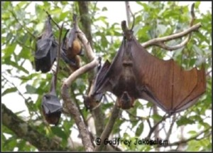 Large Flying Fox (Pteropus vampyrus). One  of the three flying foxes found in Mambukal.*