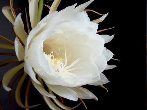 The Dama de Noche flower