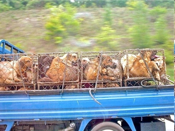 Dogs on their way to market a South Korea