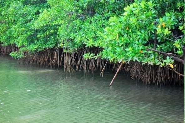 A typical mangrove forest