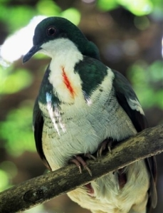Visayan Bleeding Heart Pigeon, one of  the most critically endangered animals  in Negros