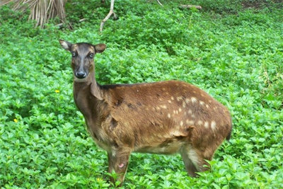 A rare and critically endangered Philippine  Visayan Spotted Deer