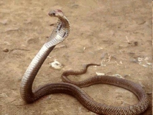 The Philippine cobra - the world's third most deadly serpent