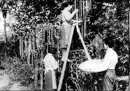 Swiss farmers enjoying a bumper spaghetti crop