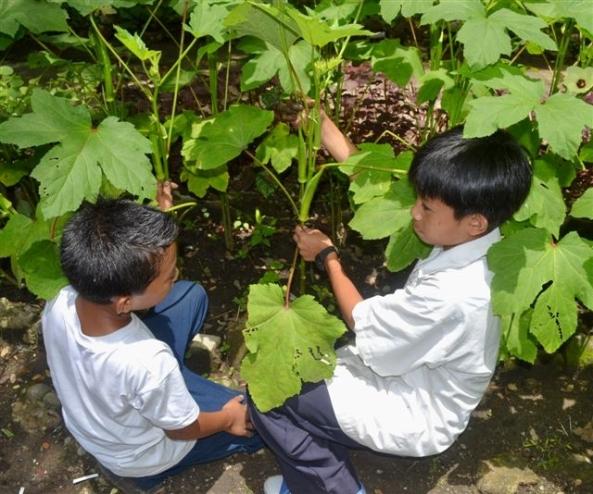 Two pupils tending an Okra plant in the school's vegetable garden