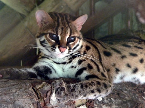 An adult Visayan leopard cat