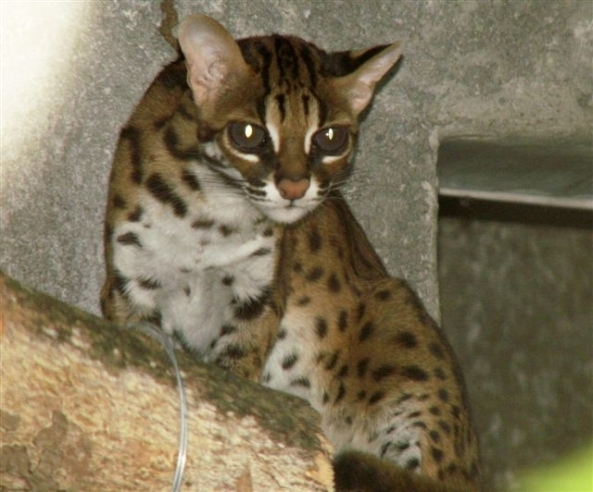 The Visayan leopard cat - fully protected by law