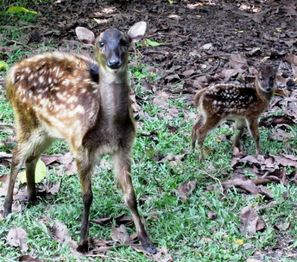 Mother Sandy and fawn