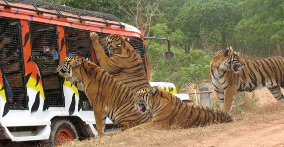 Zoobic's Tiger Safari - the only one of its kind in the Philippines