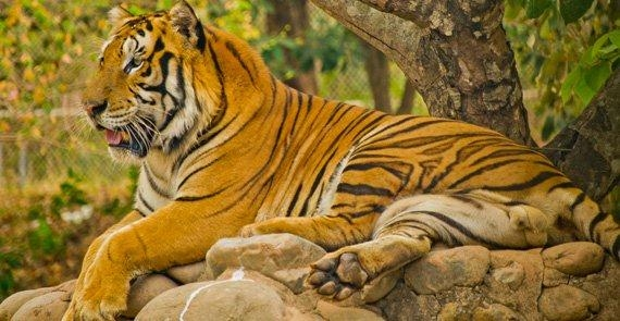 One of the magnificent tigers at the Zoobic Safari
